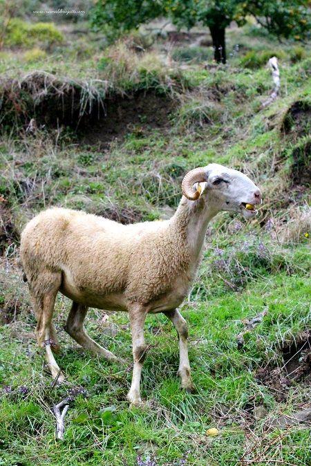 pecora-garfagnina