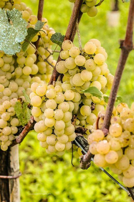 vino-uva-bianca